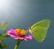 De wolkenloze Vlinder van de Zwavel op Zinnia Stock Afbeelding
