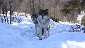 De wolven van het Noorden stock video
