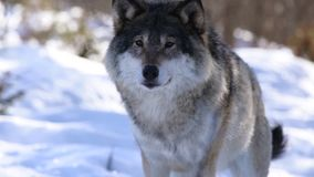 De wolven van het Noorden stock videobeelden