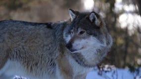 De wolven van het Noorden stock footage