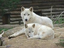 De wolven van het paar Stock Foto's