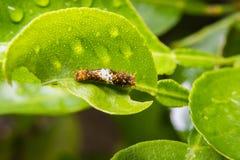 De worm eet bladeren Stock Fotografie