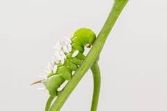 De worm en de parasiet van de tabakshoorn coccons Stock Foto's