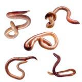 De worm van de aarde Stock Afbeelding