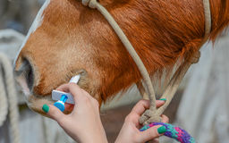 De worming a horse Stock Photos