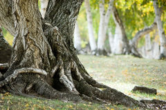 De wortel van de boom Stock Foto's