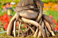 De wortel van de boom Stock Fotografie