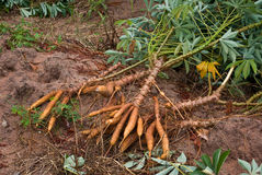 De wortel van de maniok Royalty-vrije Stock Foto