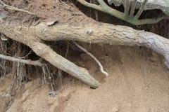 De wortel van grote boom in het zand Stock Afbeelding