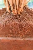 De wortel van Vetiveria zizanoïdesgras stock foto