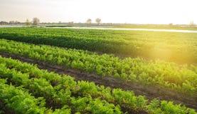 De wortelaanplanting groeit op het gebied plantaardige rijen Groeiende Groenten Landbouwbedrijf Landschap met Landbouwgrond Gewas royalty-vrije stock afbeeldingen