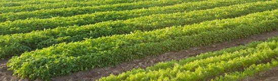 De wortelaanplantingen groeien op het gebied Landbouw Organische groenten plantaardige rijen farming banner Selectieve nadruk royalty-vrije stock foto's