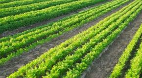 De wortelaanplantingen groeien op het gebied Landbouw Organische groenten plantaardige rijen farming Selectieve nadruk stock foto's
