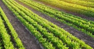 De wortelaanplantingen groeien op het gebied Landbouw Organische groenten plantaardige rijen farming Selectieve nadruk stock afbeeldingen