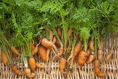 De wortelen groeven vers en uit vorm royalty-vrije stock foto's