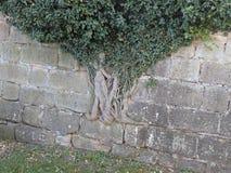 De wortels doordringen de muur van een oud kasteel stock foto's
