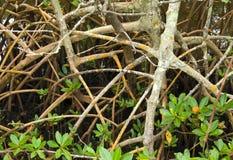 De Wortels en de Spruiten van de mangrove royalty-vrije stock foto's