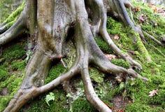 De wortels en het mos van de boom royalty-vrije stock afbeelding