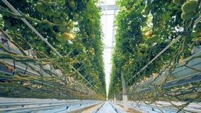 De wortels en de stammen van het kweken van tomaten strengelen serremateriaal ineen dicht bij de vloer wordt gevestigd die stock video