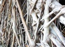 De wortels van Banyan Royalty-vrije Stock Afbeeldingen