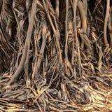 De wortels van de Banyanboom stock foto