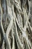 De wortels van de Banyanboom Stock Fotografie
