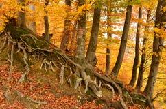 De wortels van beukbomen stock foto