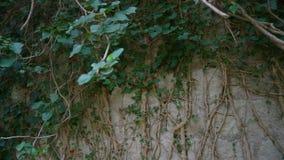 De wortels van de boom groeien op de oude muur stock video