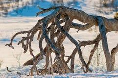 De wortels van de bergboom Stock Afbeelding