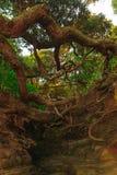 de wortels van de bomen op de klip Stock Afbeelding