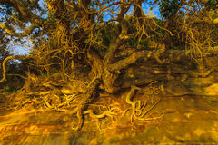 de wortels van de bomen op de klip Stock Foto's