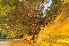 de wortels van de bomen op de klip Stock Afbeeldingen