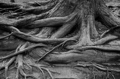 De wortels van de boom Stock Fotografie