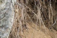De wortels van de boom boven het kloof in het zand Stock Afbeelding