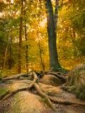 De wortels van de boom op de achtergrond van de rotszonsondergang. Royalty-vrije Stock Foto