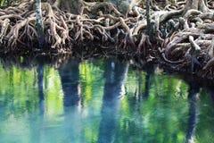 De wortels van de boom sluiten omhoog in mangrove Stock Afbeeldingen