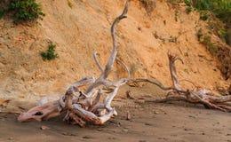 De wortels van de dode boom planden golf Stock Afbeeldingen