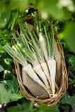 De wortels van de peterselie Royalty-vrije Stock Foto's