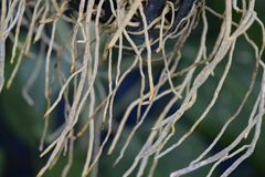 De wortels van de orchidee zijn talrijk stock foto's