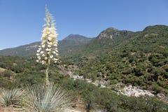 De yucca van Chaparral stock fotografie