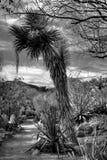 De Yucca van de woestijn Stock Afbeelding