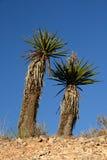 De Yucca van de woestijn stock afbeeldingen