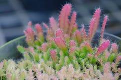 De zaailing van de cactus royalty-vrije stock fotografie