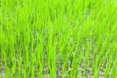De zaailing van de rijst Stock Fotografie