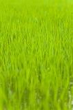 De zaailing van de rijst Royalty-vrije Stock Fotografie
