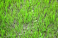De zaailing van de rijst Stock Foto
