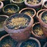 De zaailing van de rijst Royalty-vrije Stock Foto