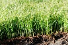 De zaailing van de rijst Royalty-vrije Stock Afbeeldingen