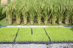 De zaailing van de rijst in dienblad en installaties Stock Foto's