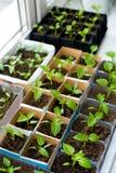 De zaailingen van de groene paprika Stock Foto